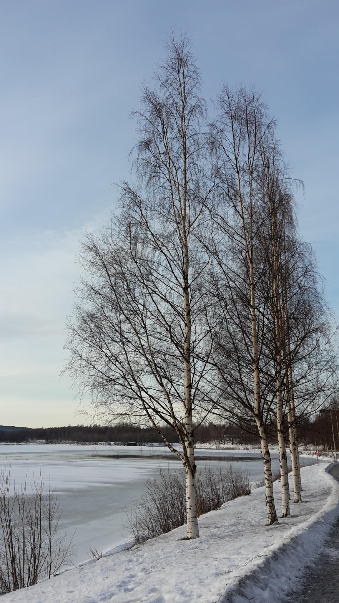 Björkar i Umeå