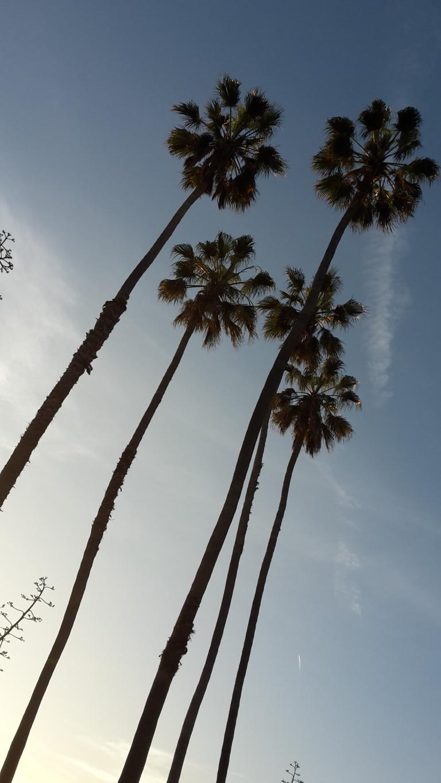 LA palmtrees